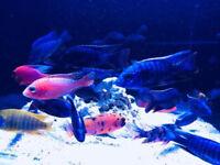 Tropical African Malawi's Chilid fish live fish Tank aquaruim