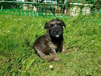 KC Registered, Absolutely beautiful Soft Coated Wheaten Terrier puppies