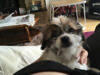 Beautiful 9 week old shih tzu