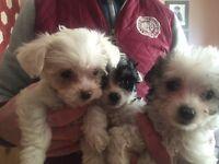 Gorgeous Chihuahua/Bichon Frise Pups