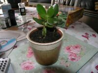Plant Jade / Money Tree In Earthenware Pot Weymouth