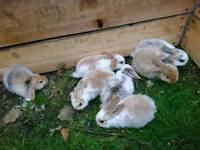 French loop baby rabbits