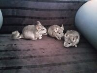 Chinchillas - three female and one male 9 weeks old