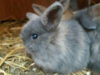 Stunning tame tiny mini Lop babies