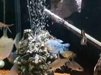 Blue Gourmai Fish