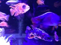 African Malawis, tropical fish haps, mbuna, dolphins fish tank