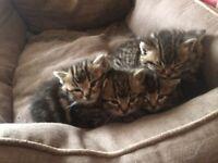 5 tabby kittens for sale