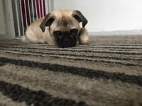 Fawn Pug Puppy 5 months old
