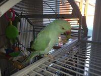 Parrots Blue ring necks