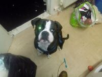 bulldog cross boxer male 1 and half years old