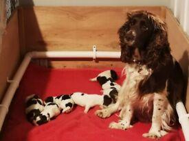 Stunning Sprocker Puppies - English Springer X F1 Sprocker - 4 males