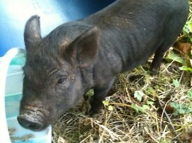 kuni kuni pig 13 mnths old friendly family pet