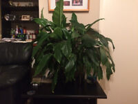 Giant Peace Lily,indoor only.