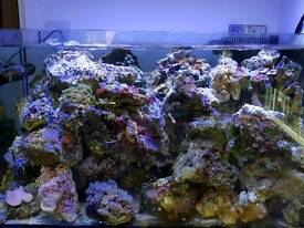 Matured Live rocks for marine aquarium