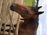 For Loan/Part Share. 17hh Cleveland Bay Gelding