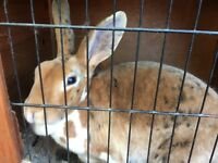 Mini Rex Rabbit female doe looking for a new home