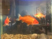 Gold pond fish for adoption