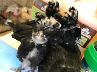 White crested black polish Pullets
