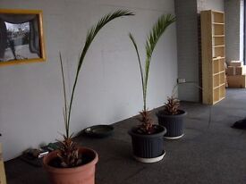 Two Phoenix Palm Trees