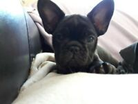 Stunning French Bulldog puppy - 1 female £750