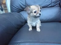 Beautiful long haired chihuahua puppies