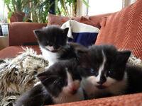 Gorgeous Black & White Tuxedo Kittens x5