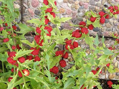ERDBEERSPINAT 100 Chenopodium Capitatum Erdbeer Spinat