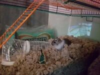 2 same sex gerbils with cage and food for sale.