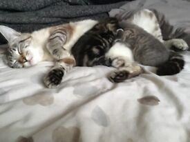 Siamese lynx point cross kittens