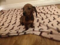 Ikc male Miniature dachshund puppy