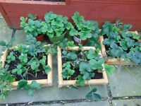 Strawberry plants and basil plants,carboot,joblot,lot of plants,very cheap