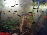10 mix of tropical fish (guppi, platy, sword tail, molli)