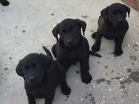 Labrador puppies black Chucky labs left 3 boys
