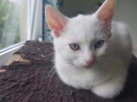 Beautiful short hair kittens blue/green eyed full white ragdoll cross / siberian