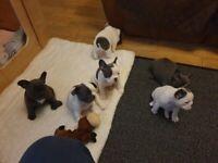 5 generation pedigree, kc registered French bulldog puppies
