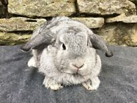 Beautiful chinchilla mini lop doe for sale