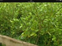 GRISELINIA Hedging Plants. 3ft and 4ft tall