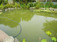 Wanted large Water Lilie Lily, or surface plants for large pond koi