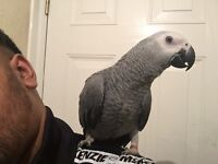 Super hand tamed reared baby African grey Congo Healthy Talking Parrot