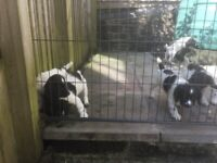 English Springer Spaniel Pups **READY TO LEAVE NOW**