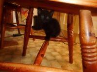 Kittens for sale. 2 black kittens 1 male, 1 female.