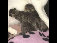 Silver spotted and silver tabby British shorthair whiskers kittens