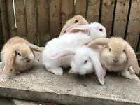 Beautiful baby French lop baby rabbit now 9 weeks