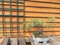 Twin trunk yamadori Scots pine bonsai