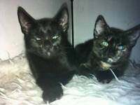 2 black Turkish angora kittens boy and girl available