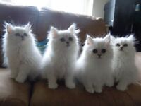 Pedigree Persian Chinchilla Kittens