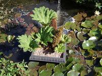 Gunnera manicata Giant leaves 3 for sale