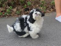 Shih Tzu X Bichon Puppy MANCHESTER