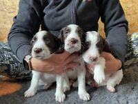 French Spaniel Puppies - health tested ready 9 October