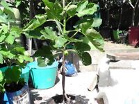 fig tree very prolific variety 4 year old mature tree in 15 litre pot